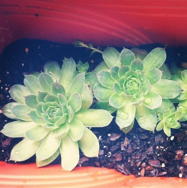 Nan's Succulents